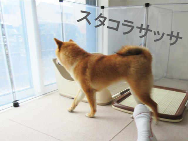 柴犬コマリ スタコラサッサ