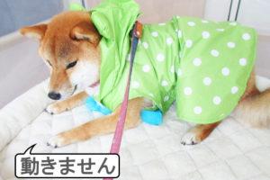 柴犬コマリ カッパ
