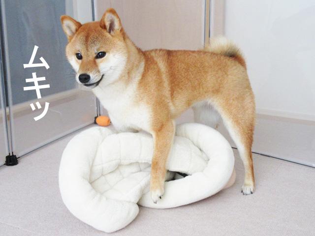柴犬コマリ マウンティング