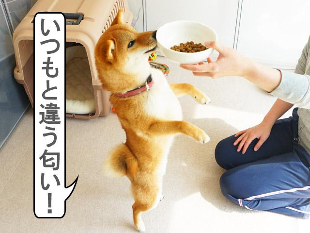 柴犬コマリ アーテミス