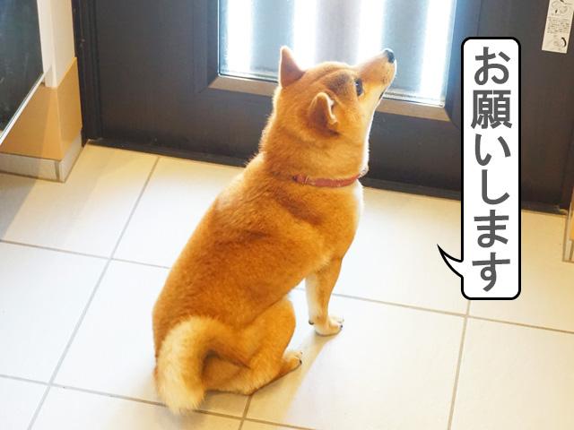 柴犬コマリ 下痢