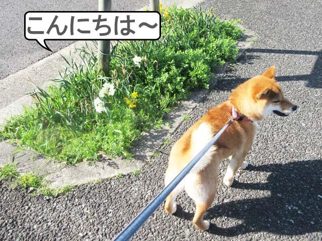 柴犬コマリ 春