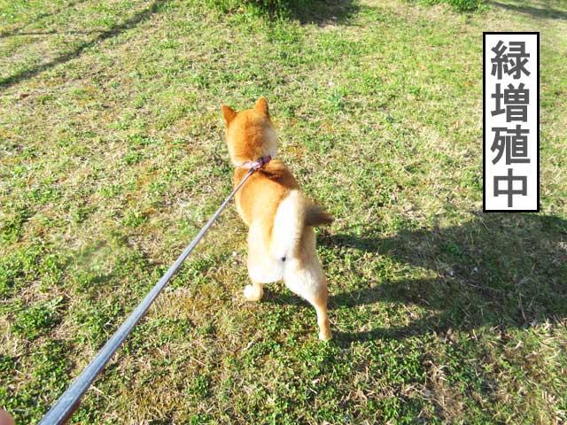 柴犬コマリ 春の公園