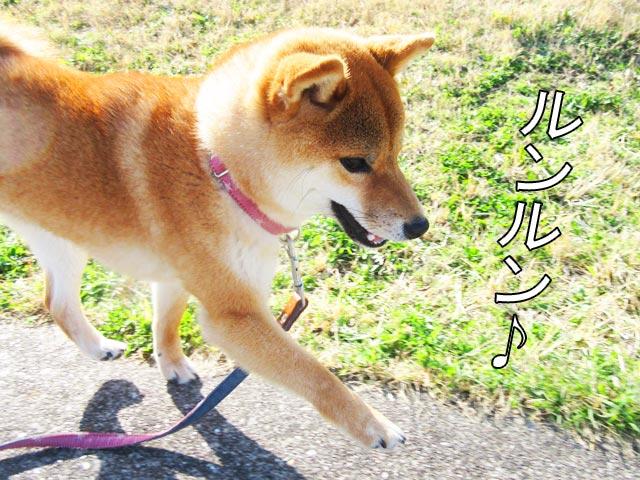 柴犬コマリ 春散歩