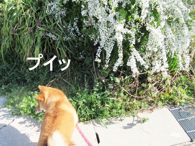柴犬コマリ ユキヤナギ