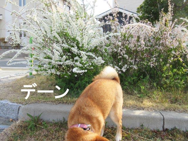柴犬コマリ 雪柳