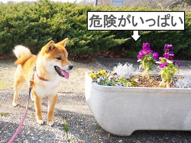 柴犬コマリ 犬に有害な花