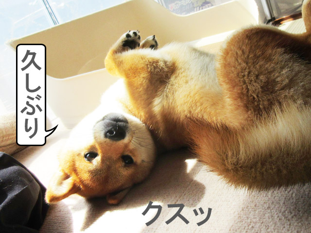柴犬コマリ お昼寝