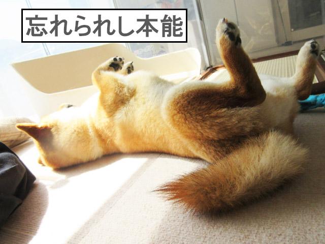 柴犬コマリ 昼寝