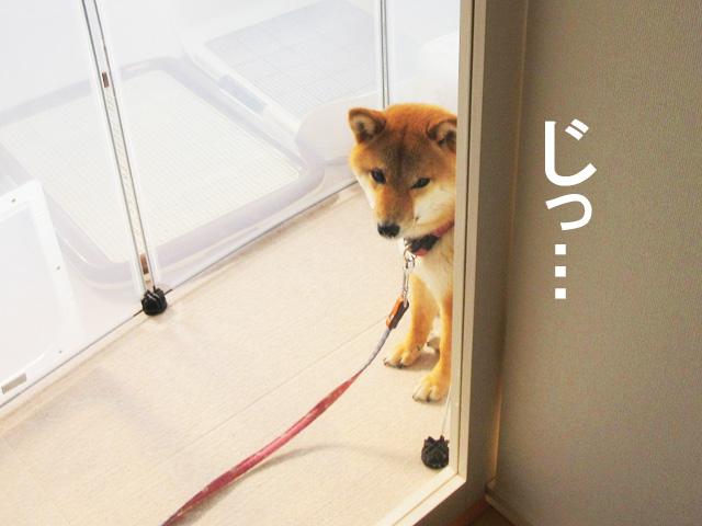 柴犬コマリ 犬の学校