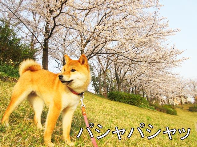柴犬コマリ 桜並木