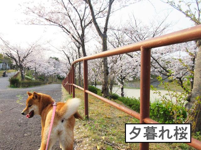 柴犬コマリ 夕暮れ桜