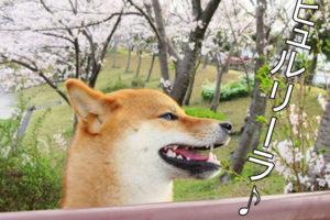 柴犬コマリ ケツメイシ さくら