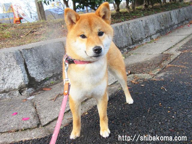 柴犬コマリ 嵐後