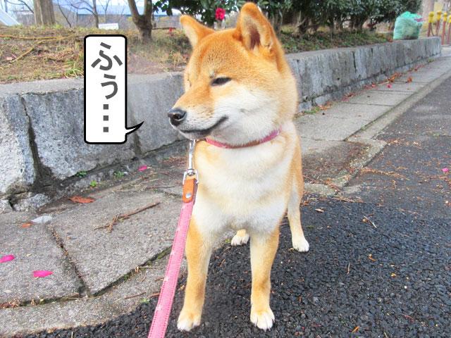柴犬コマリ 春の嵐