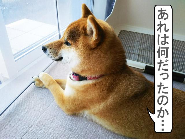 柴犬コマリ 雷