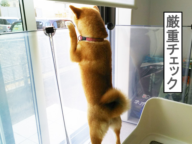 柴犬コマリ 嵐