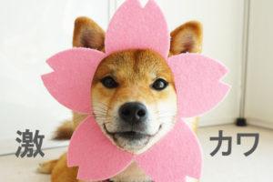 柴犬コマリ ひな祭り