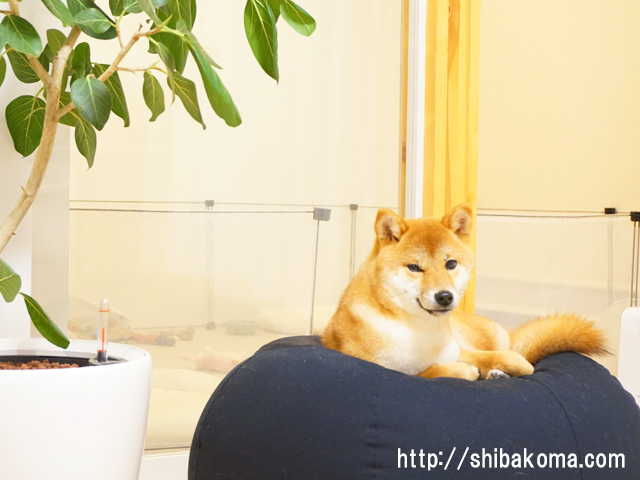 柴犬コマリ セレブ