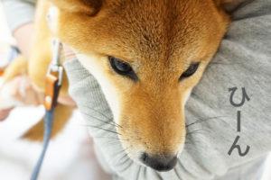 柴犬コマリ ワクチン