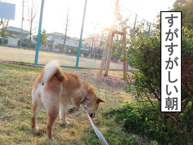 柴犬コマリ 早朝散歩