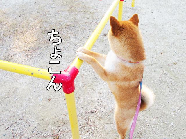 柴犬コマリ ブランコ
