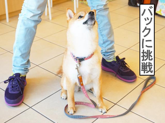 柴犬コマリ バック コマンド