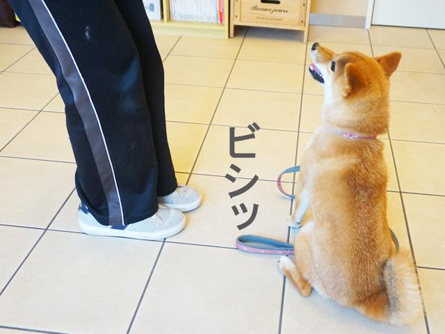 柴犬コマリ 犬のしつけ