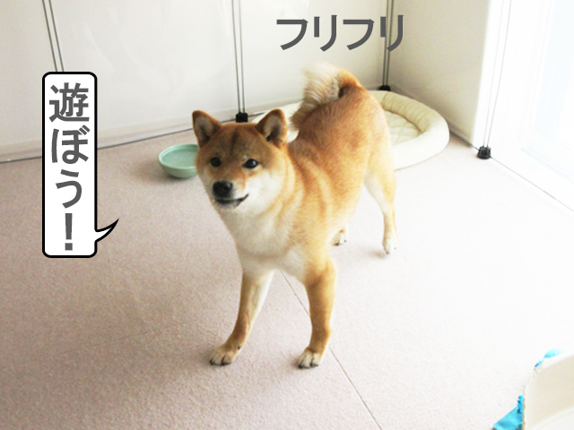 柴犬コマリ 遊び