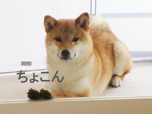 柴犬コマリ 肉球