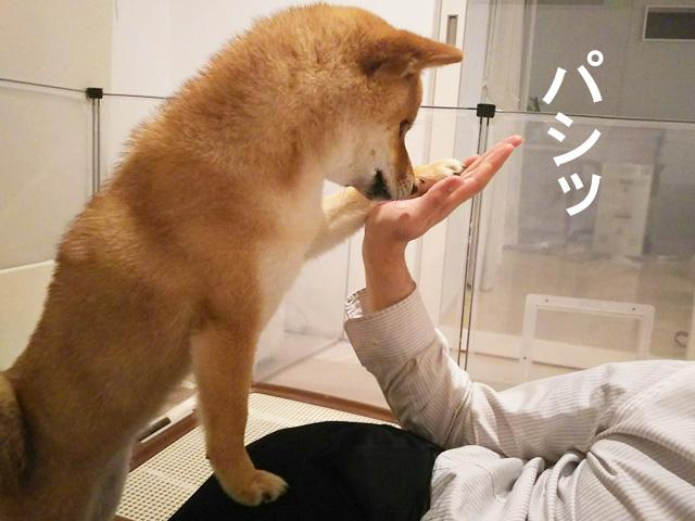柴犬コマリ お手