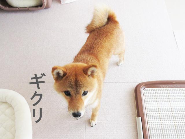 柴犬コマリ イタズラ
