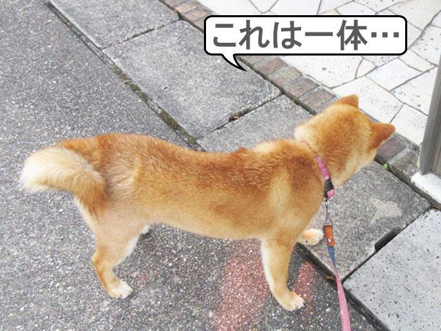 柴犬コマリ 虫