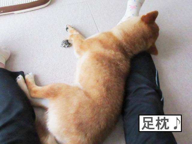 柴犬コマリ 枕
