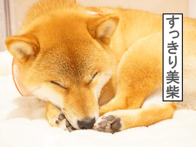 柴犬コマリ 美柴