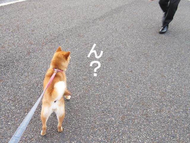 柴犬コマリ お迎え