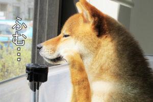 柴犬コマリ 玄人