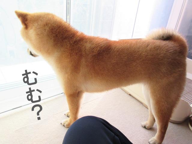 柴犬コマリ 監視