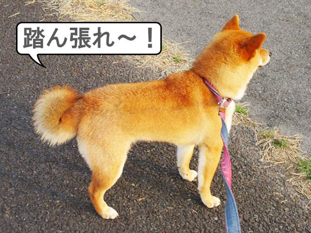 柴犬コマリ 巻尾