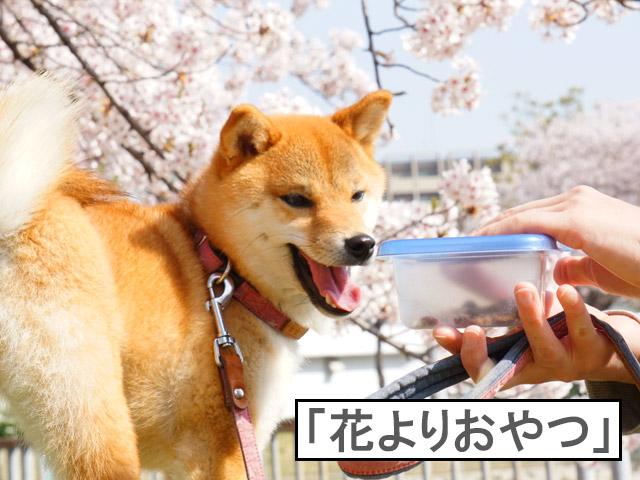 柴犬コマリ 花