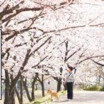 柴犬コマリ 桜のトンネル
