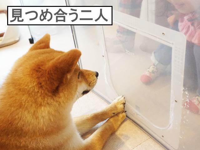 柴犬コマリ お客さん
