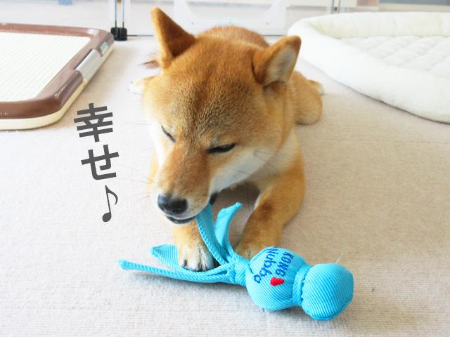 柴犬コマリ コングスモールウァバ