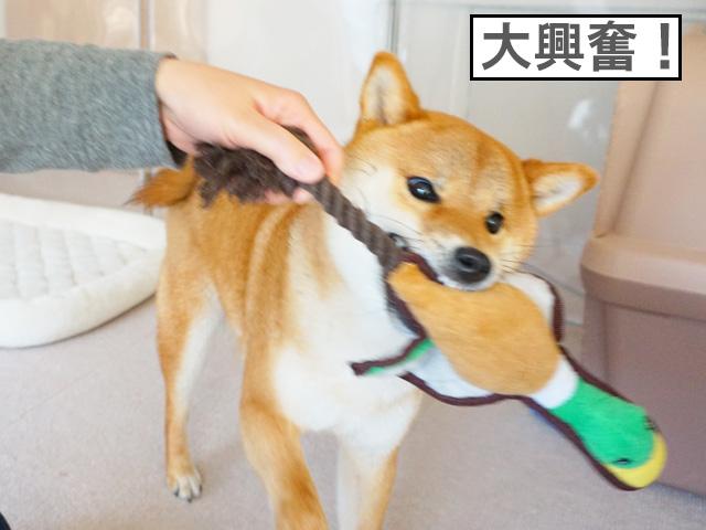 柴犬コマリ GoFetch TUFF マラード