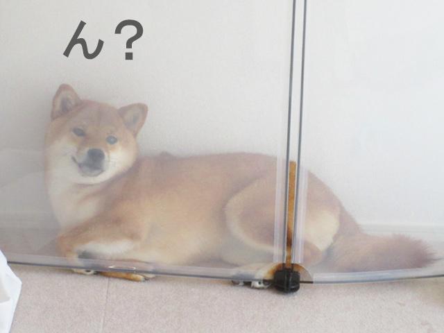 柴犬コマリ 犬フェンス