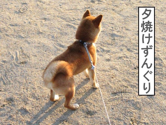 柴犬コマリ 夕焼け