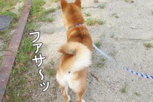 柴犬コマリ 巻き尾