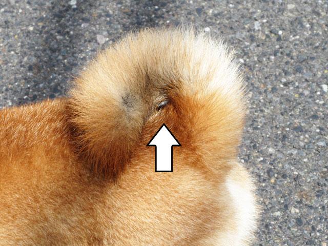 柴犬コマリ 尻尾