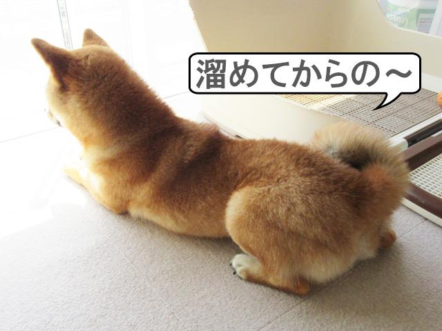 柴犬コマリ カエル足