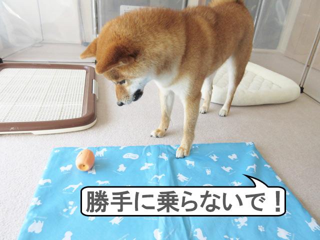 柴犬コマリ クールマット